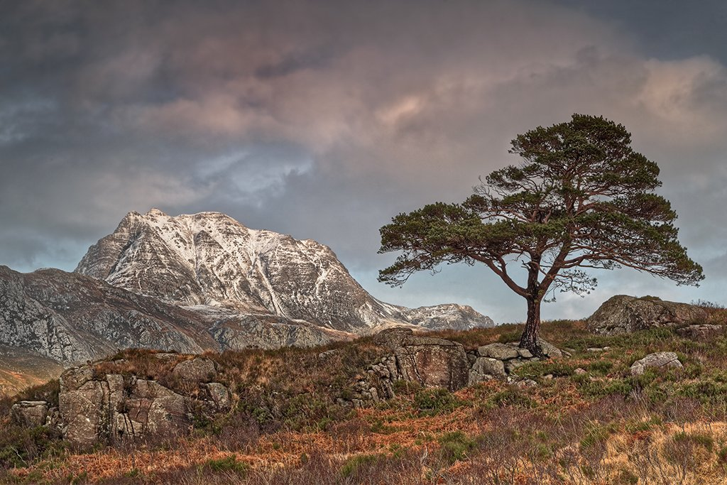 Solitary Scots Pine against a backdrop of Slioch, Loch Maree