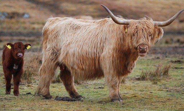 highland-cow-2741004_640