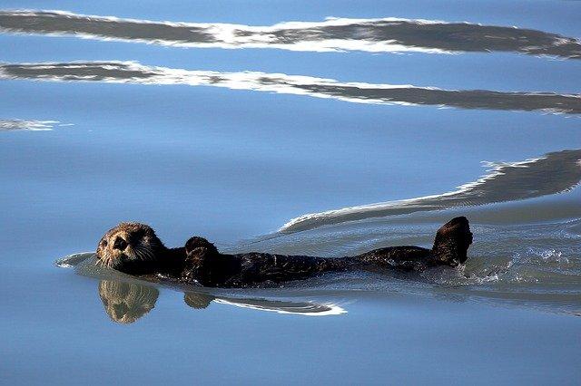 sea-otter-1405970_640